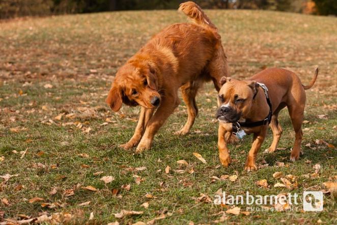 Golden Retriever Puppy Portraits in Prospect Park