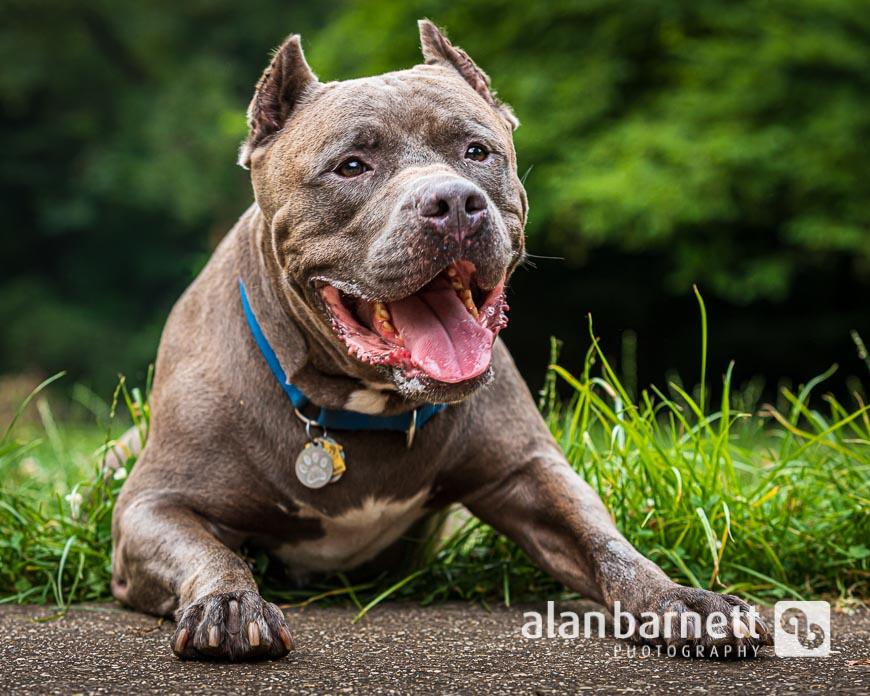 American Bulldog in Prospect Park